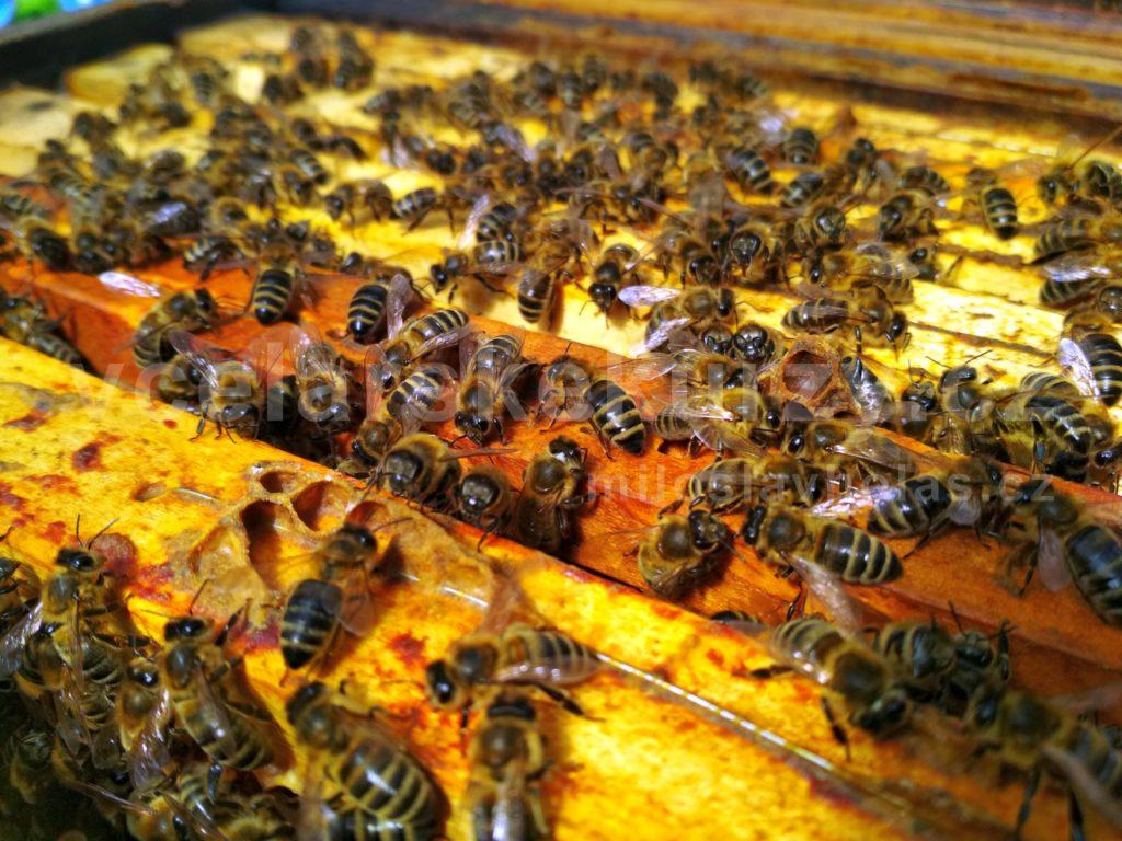 Včely na medových plástech