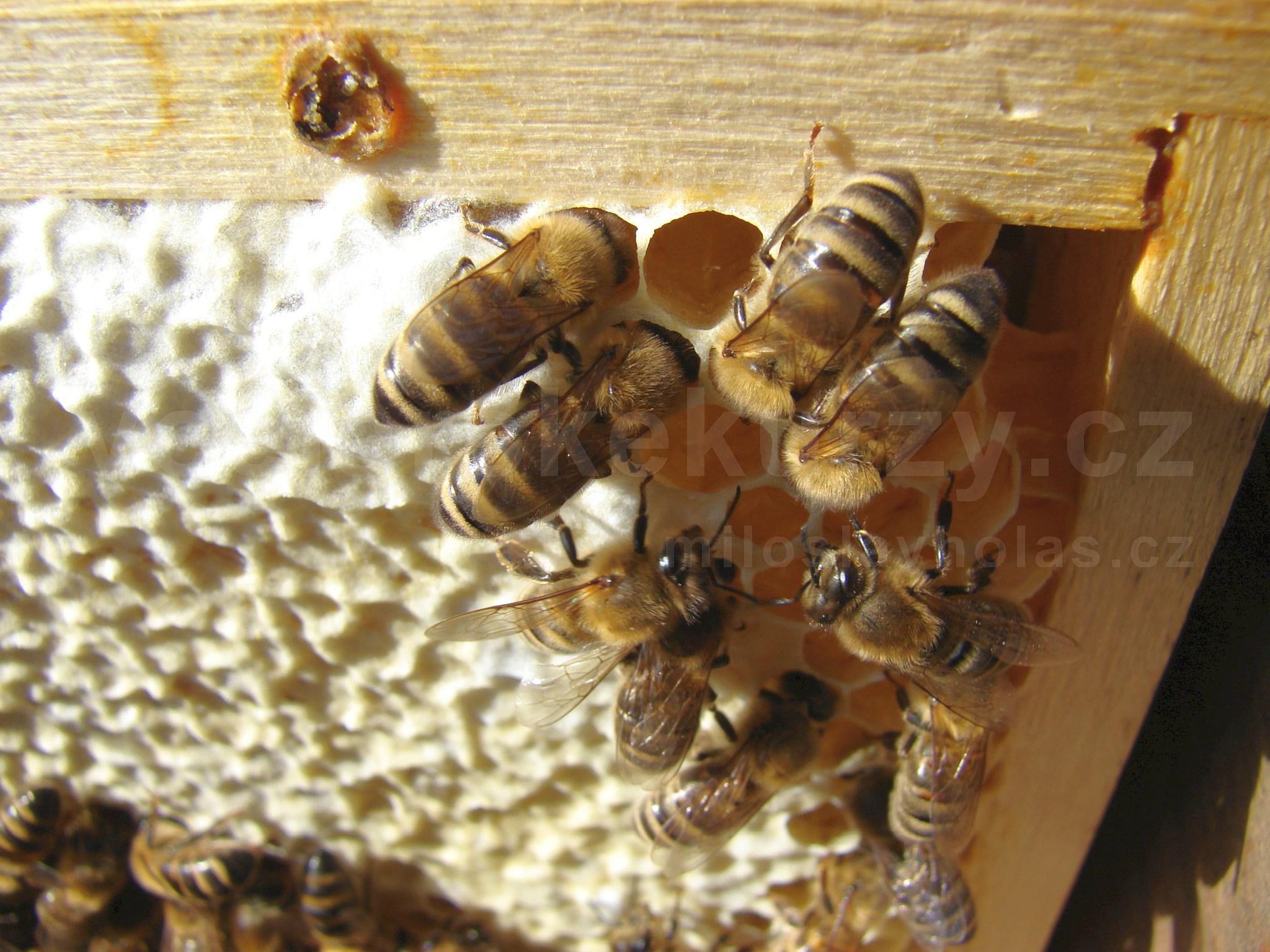 Oddělky včely na plástě