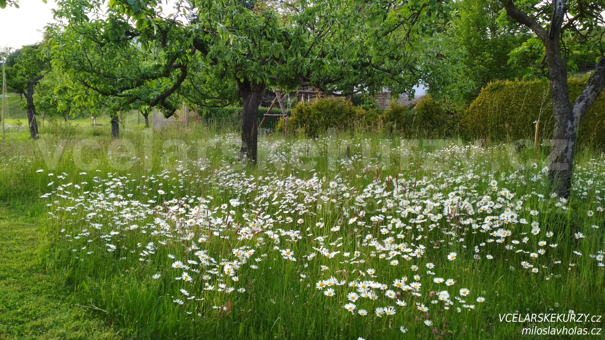 Rozkvetlá zahrada s kopretinami
